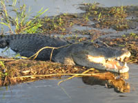 Yellow Waters, Kakadu National Park - Saltwater Crocodile