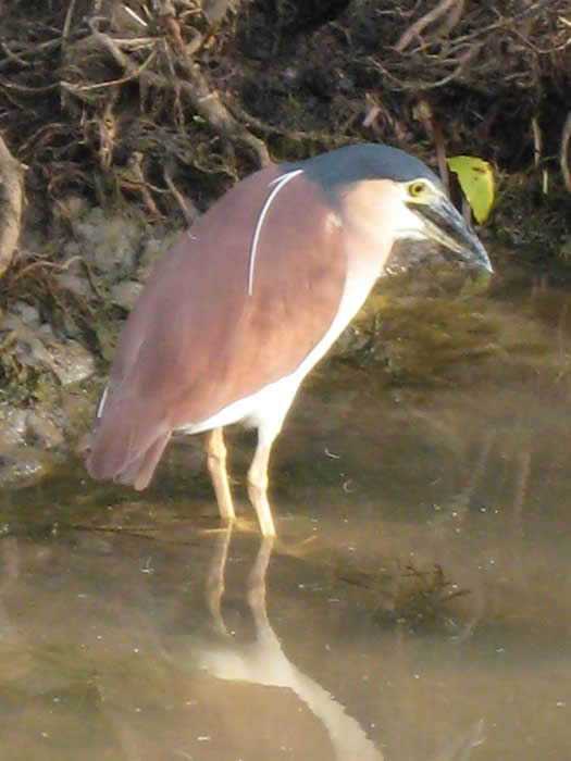 Rufous (Nankeen) night heron